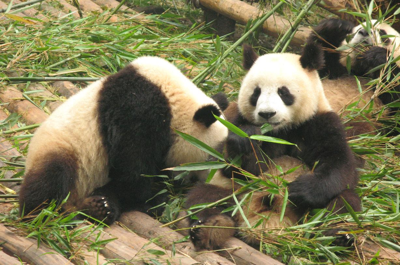 緊急寄稿! 本場・中国の四川省でパンダに溺れよう!