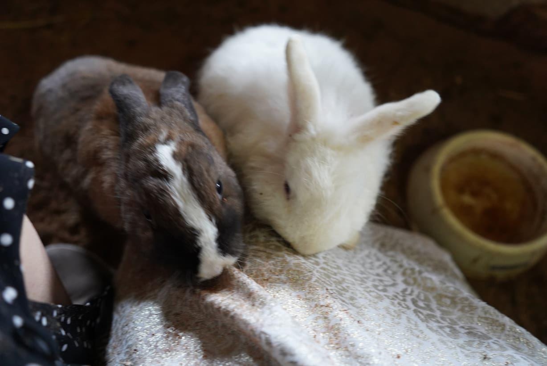 膝の上のウサギ