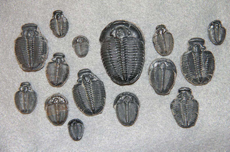 三葉虫化石